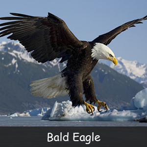 The Bald Eagle: An American Symbol
